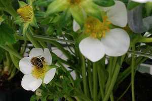 Honingbij op aardbeienbloem